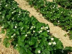 champs de fraises