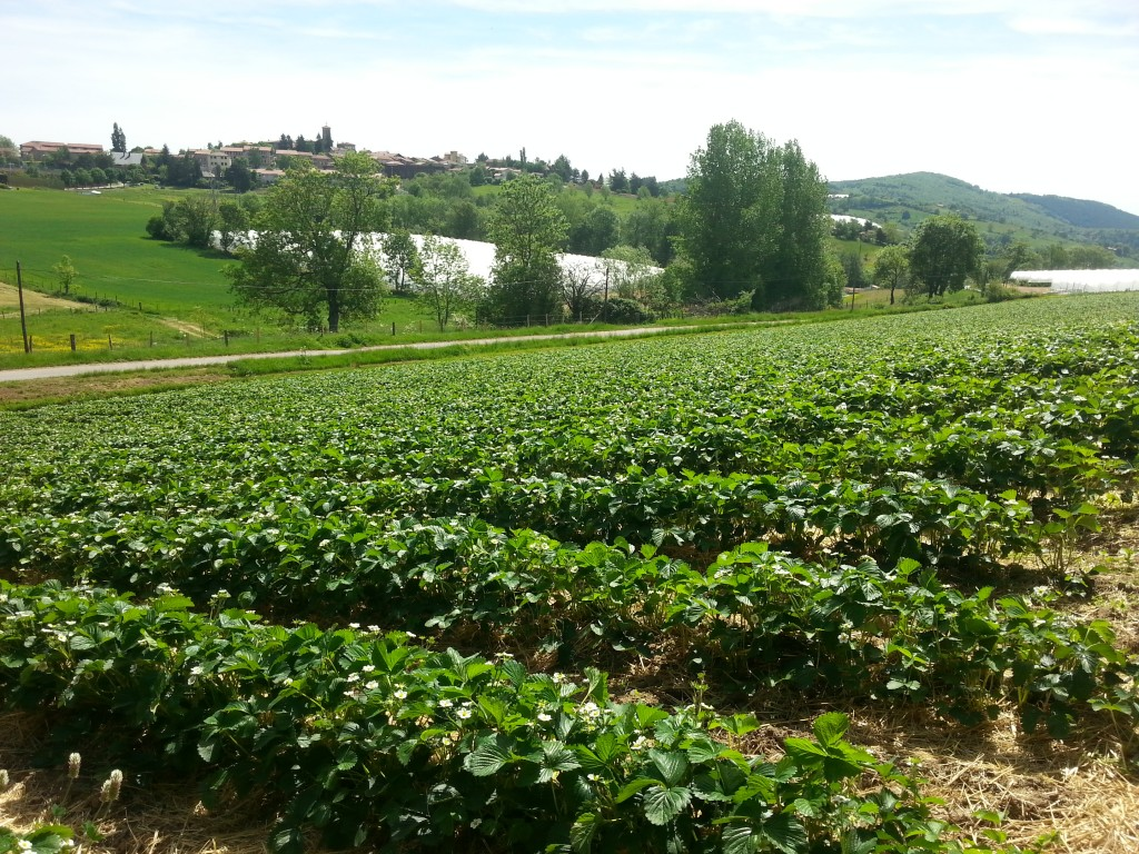 Montrottier, champs de fraises